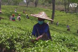 В Индии во время карантина разрешили собирать чай на плантациях