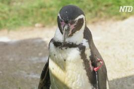 Совсем старушка: пингвину Гумбольдта в британском зоопарке исполнилось 30 лет