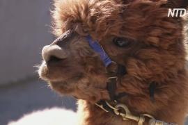 Онлайн-прогулка с альпака: как немцы успокаиваются во время карантина