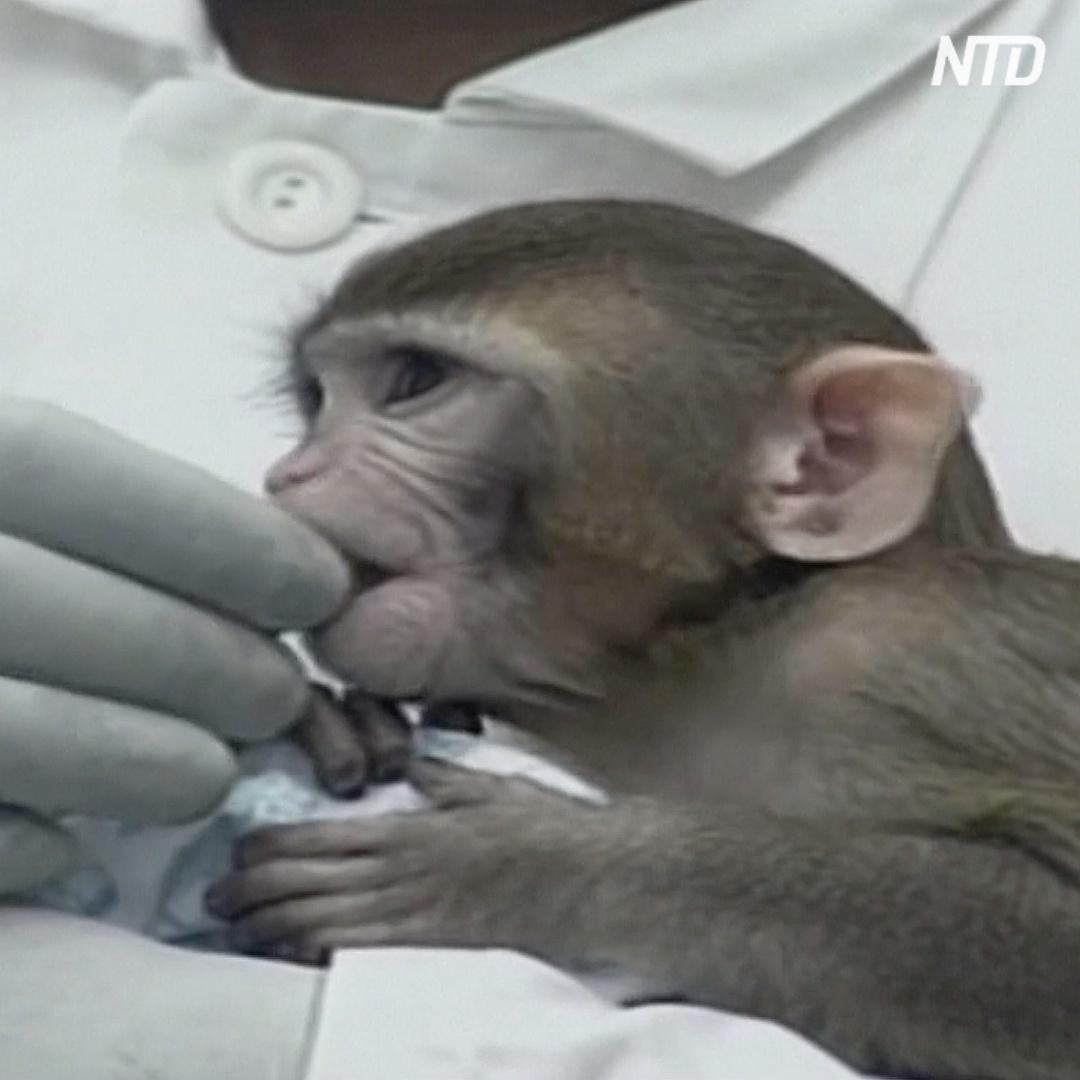 Ремдесивир сдерживает симптомы коронавируса у макак-резусов