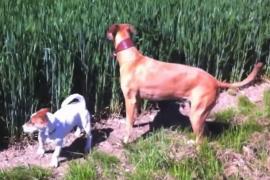 Как две собаки гуляли в высокой траве. Забавное видео
