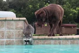 Как енот и пёс плавают в бассейне. Забавное видео
