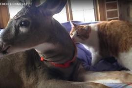 Как прошла первая встреча домашнего кота и оленёнка