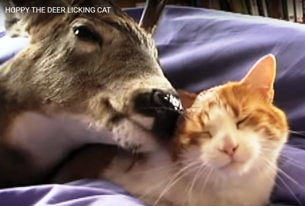 Novyj risunok 6 2 - Как прошла первая встреча домашнего кота и оленёнка