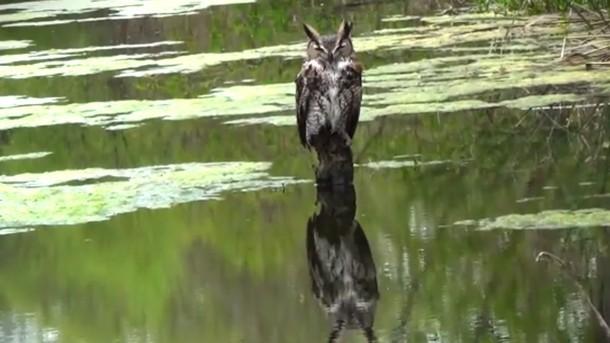 Как сову спасали из пруда