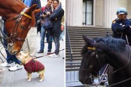 Встречу пса и полицейской лошади посмотрели 5 млн раз