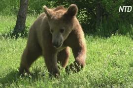 В Греции молодые медведи Брэдли и Купер вернулись в дикую природу