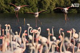 Тишина в Мумбаи привлекла тысячи розовых фламинго