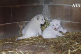 В кипрском зоопарке среди тишины и покоя родились белые львята