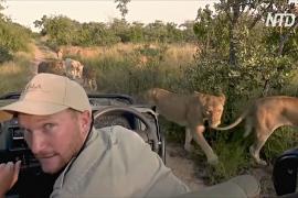 Жизнь хищных кошек в реальном времени: в ЮАР организуют виртуальное сафари