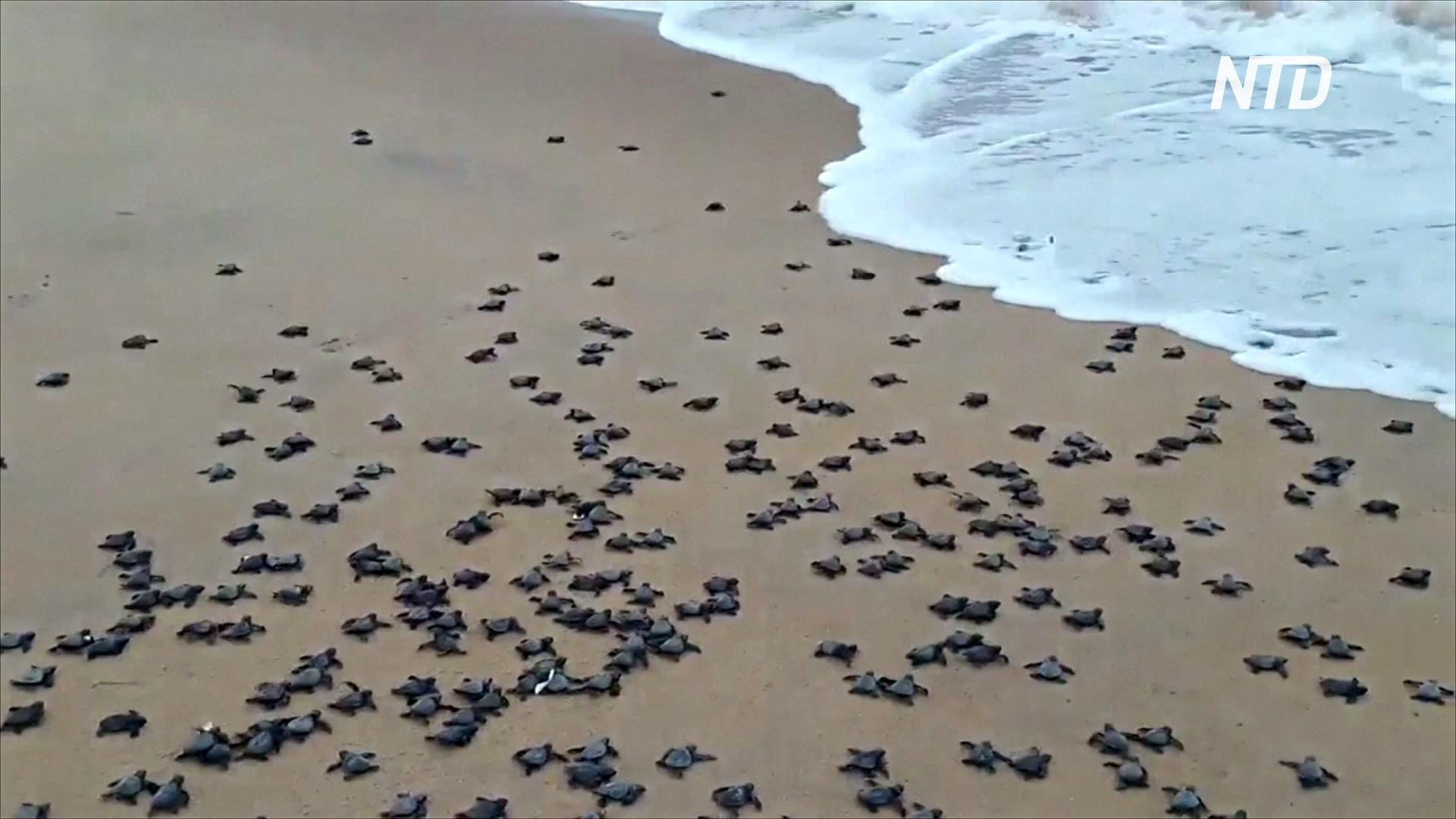 На безлюдных пляжах Индии вылупились миллионы оливковых черепах