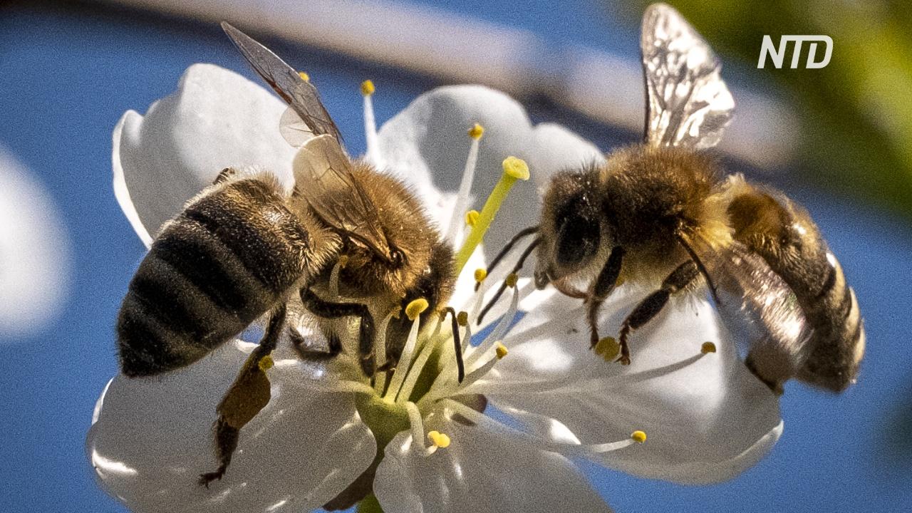 Эксперты: пандемия помогла популяциям пчёл восстановиться