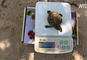 В Камбодже родились 23 пресноводные черепахи редкого вида батагур