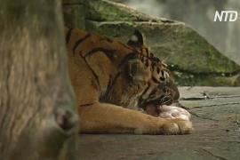 Индонезийский зоопарк хочет скормить оленей большим кошкам