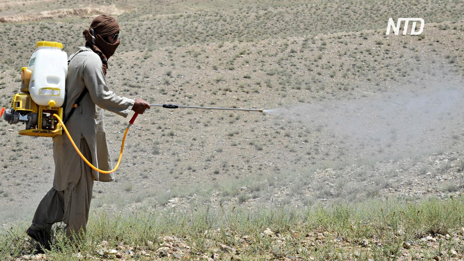 Пакистану из-за нашествия саранчи угрожает нехватка продовольствия