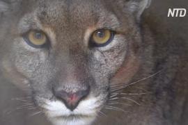Пума во дворе: в чилийский затихший город забрела хищница