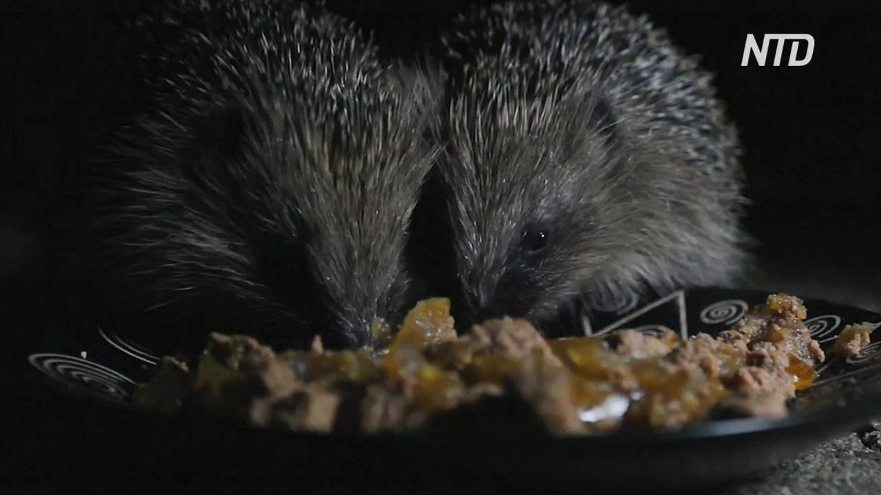 Карантин в Великобритании, возможно, поможет увеличить популяцию ежей