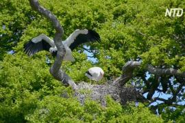 В Великобритании впервые за 600 лет могут родиться аисты в дикой природе
