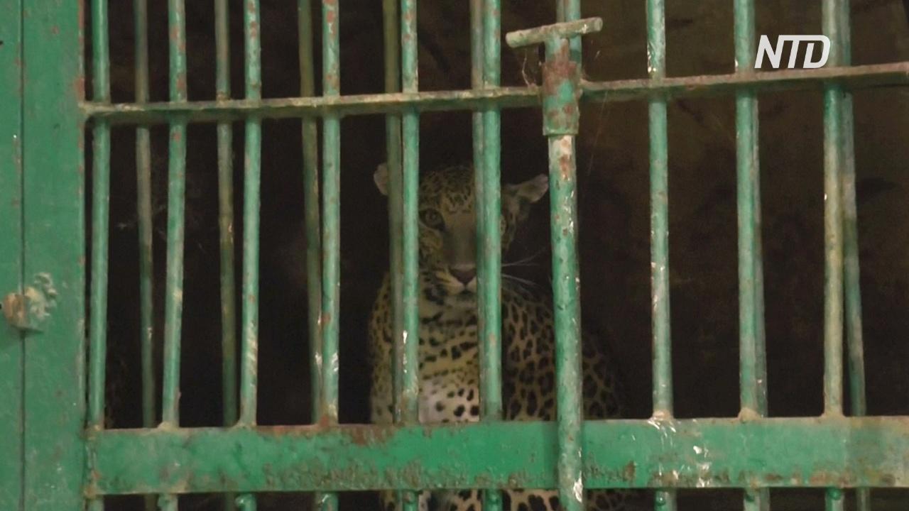 Забредшего в индийский город леопарда ловили полиция, лесничие и местные жители