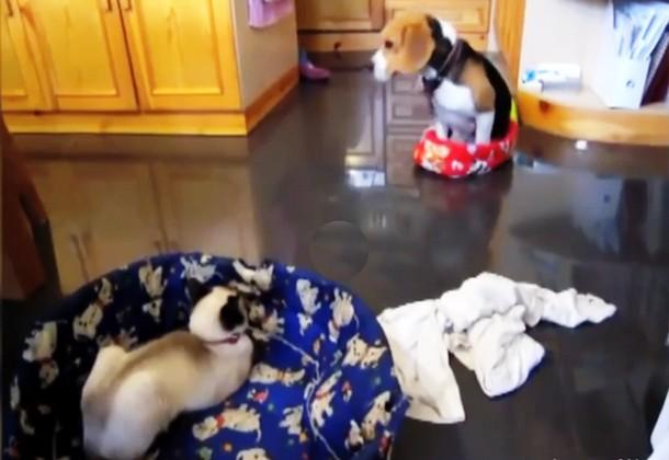 3 1 - Кошки оккупировали лежанки собак. Весёлое видео