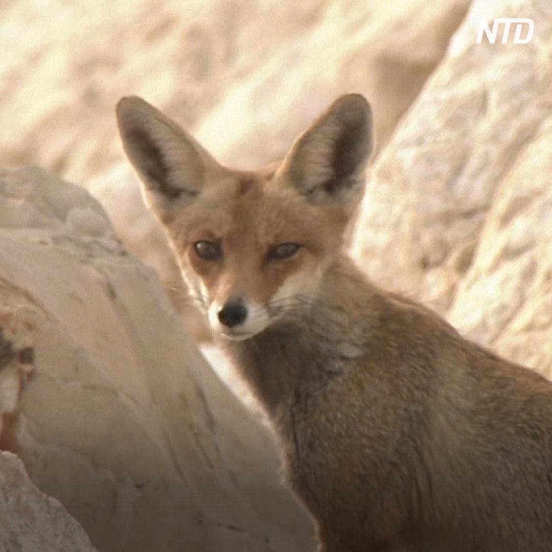 Почему по Ашкелону гуляют лисицы