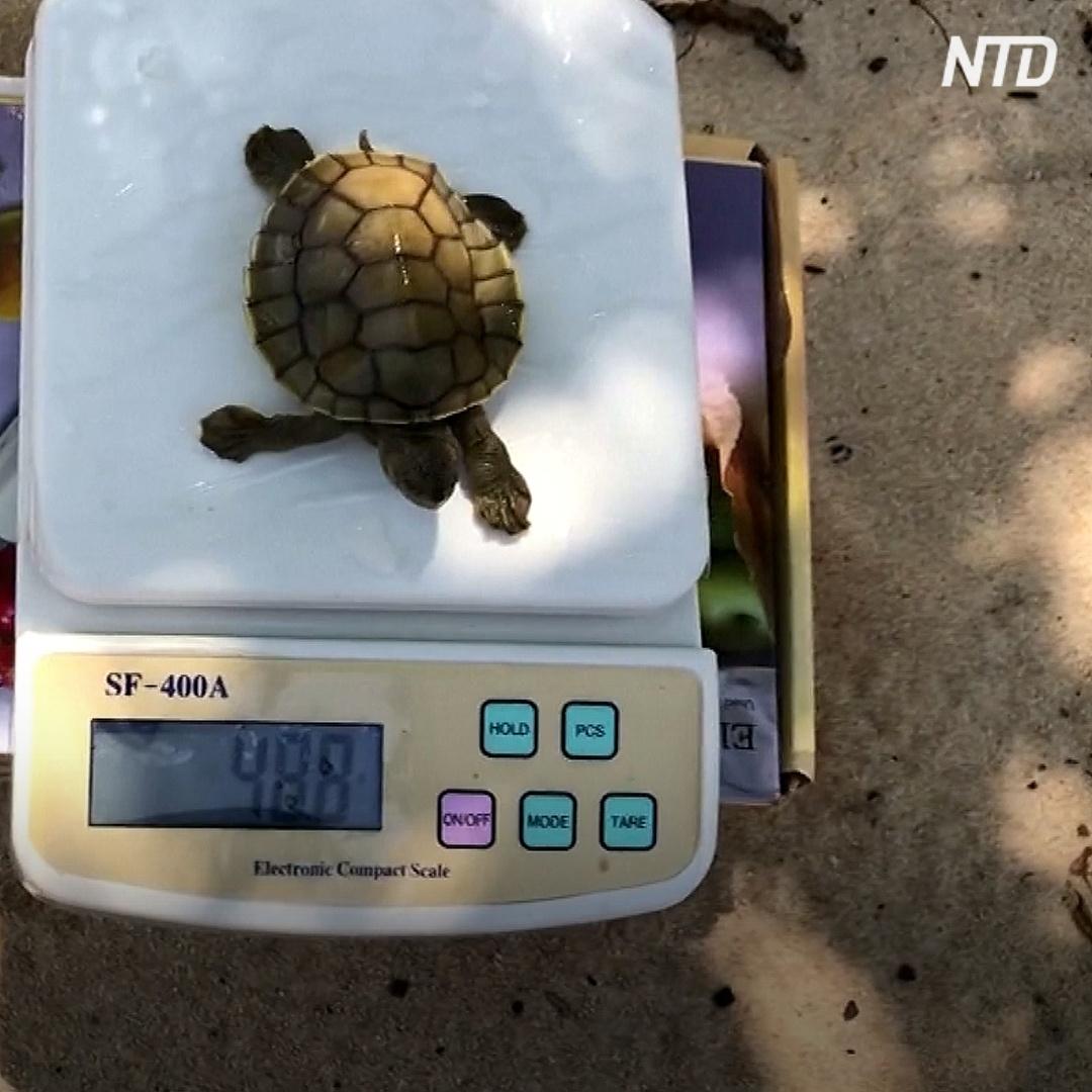 51 яйцо и 23 детёныша: в Камбодже родились черепахи редкого вида