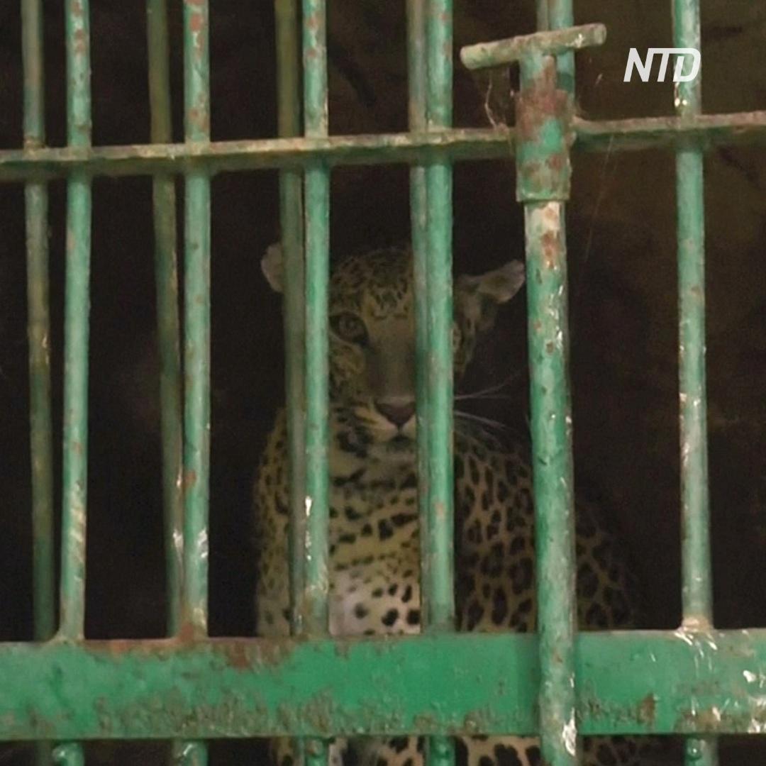 Как ловили леопарда, который забрёл в индийский город