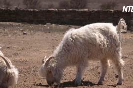 COVID-19 у козы и папайи: президент Танзании не верит тестам