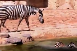 Маленькая зебра заставила двух мужчин нырнуть в бассейн