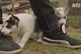 Эпидемия COVID-19 привела к буму на покупку щенков в Великобритании