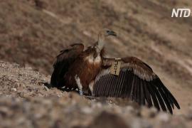 В Израиле разводят исчезающих белоголовых сипов