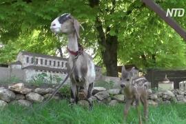 В Бахчисарае коза усыновила маленькую косулю