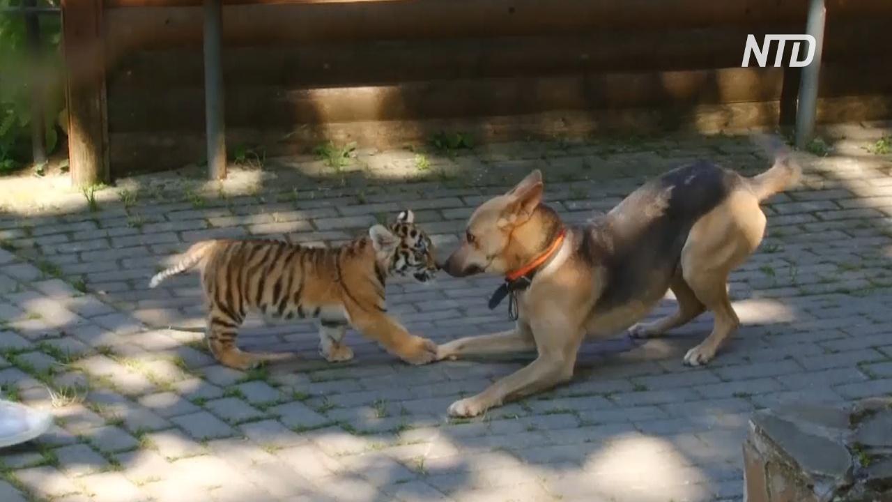 Тигрёнок в нижегородском зоопарке подружился с собакой