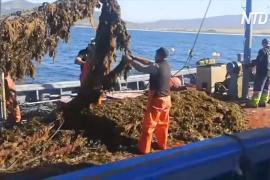 Сезон ловли тунца в Испании под угрозой из-за бурых водорослей