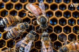 Новое исследование: пчелиные матки гудят и крякают