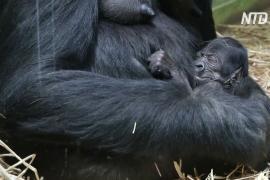 В зоопарке Антверпена родилась редкая горилла