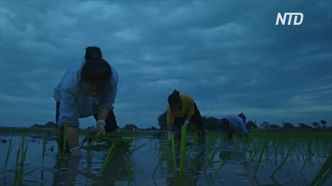 Из-за жары вьетнамские фермеры сажают рис по ночам