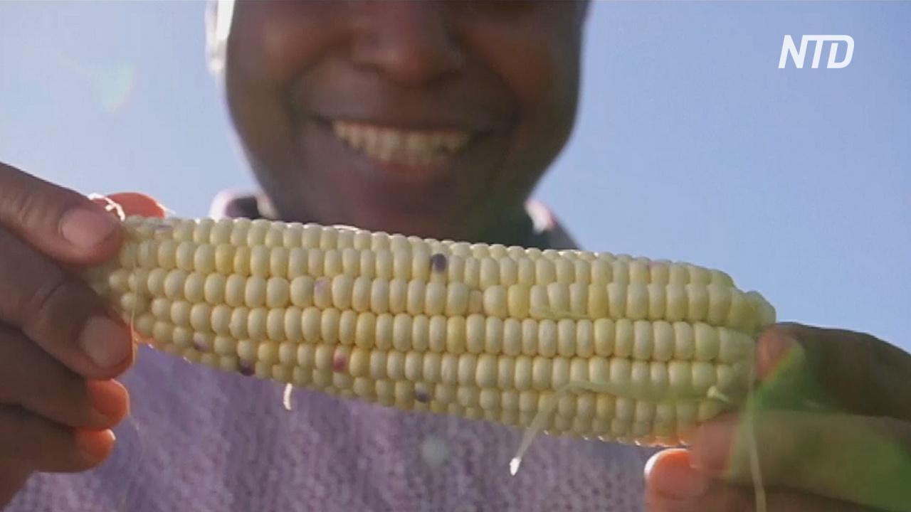В Австралии африканские беженцы сажают кукурузу и чувствуют себя как дома
