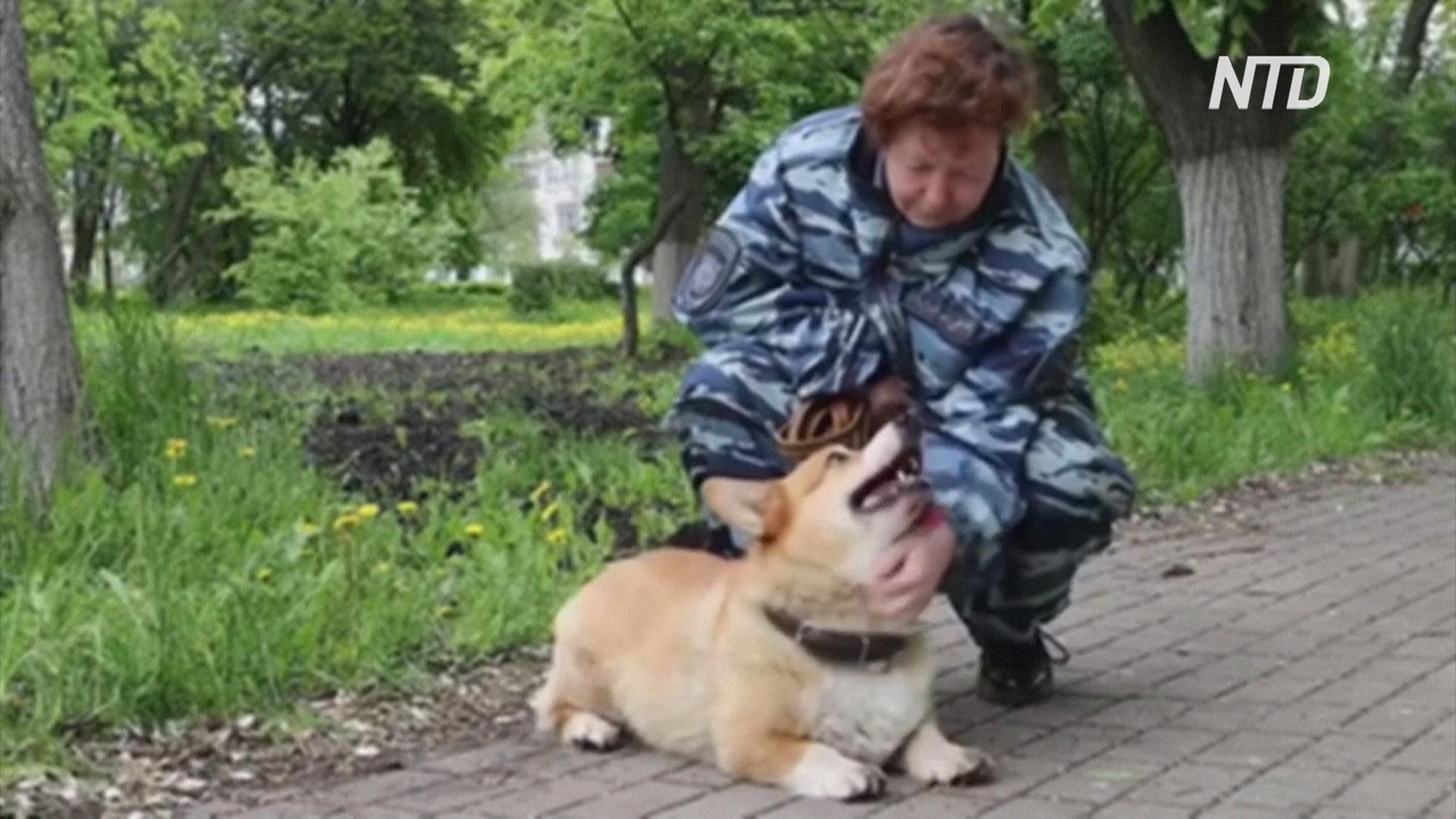 Нижегородский корги-полицейский отслужил семь лет и вышел на пенсию