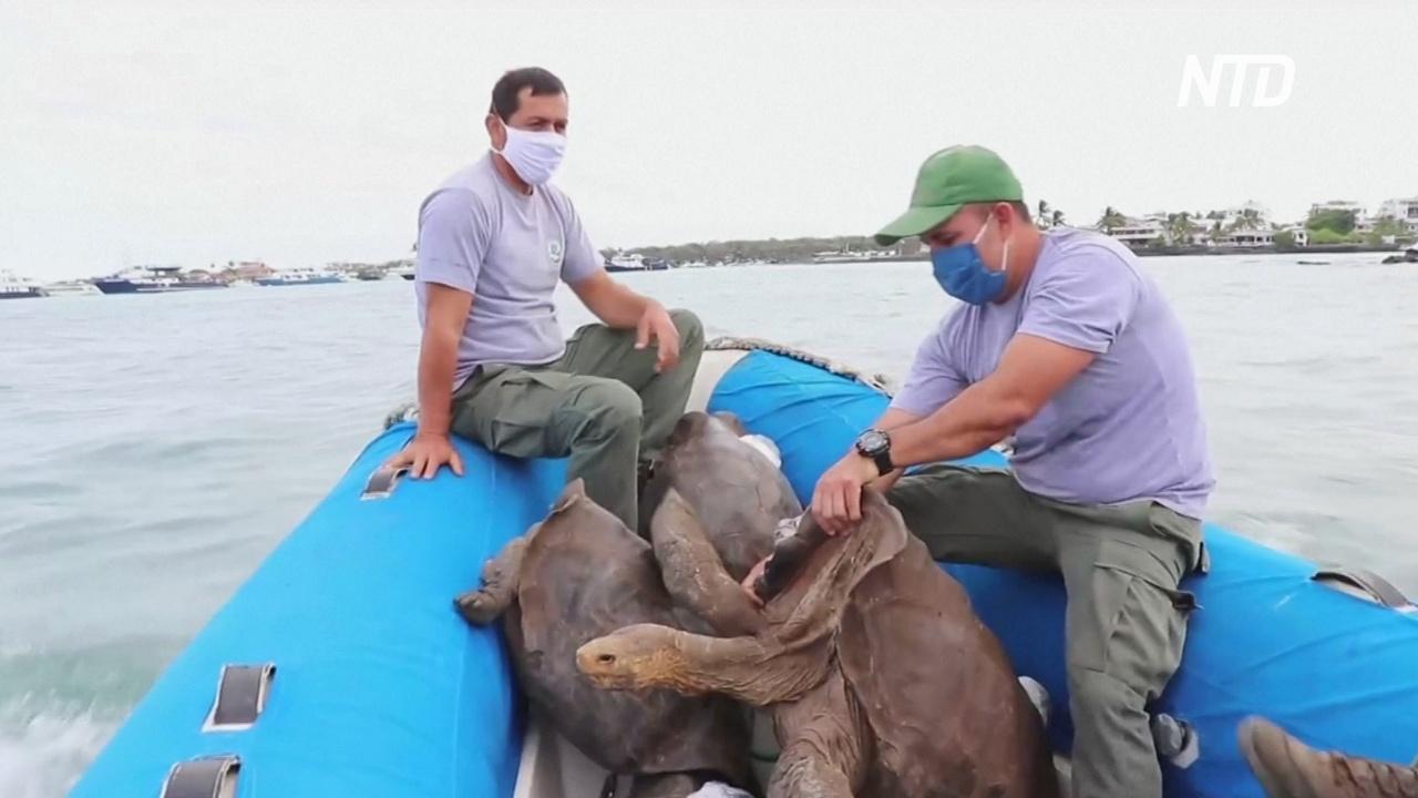 15 галапагосских черепах спасли свой вид и вернулись в дикую природу