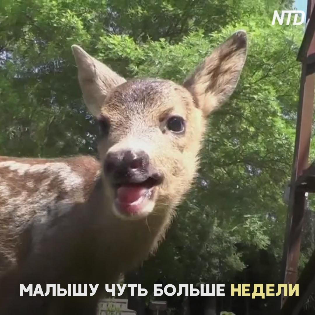 Коза усыновила косулёнка в Крыму