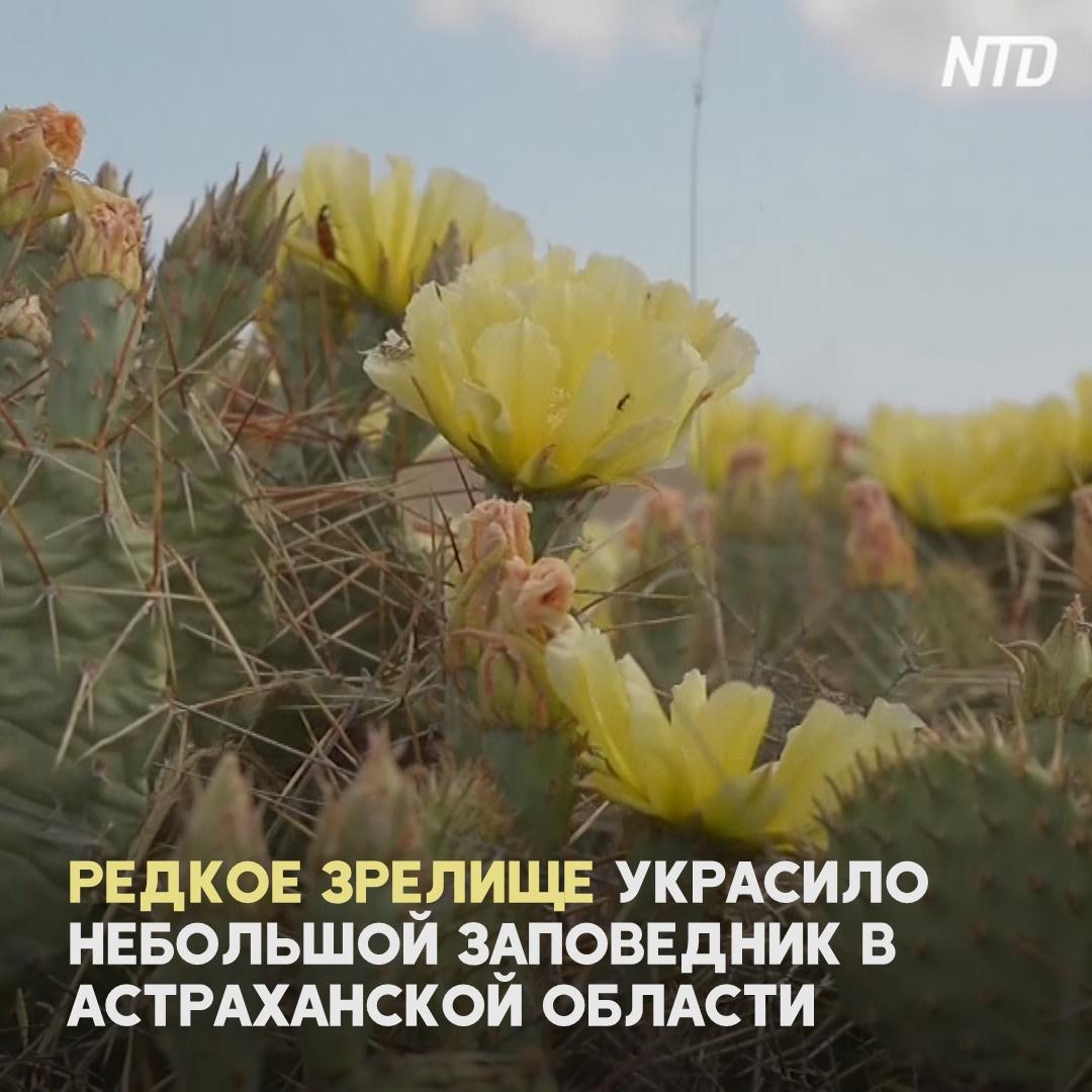 В парке Астраханской области зацвели опунции