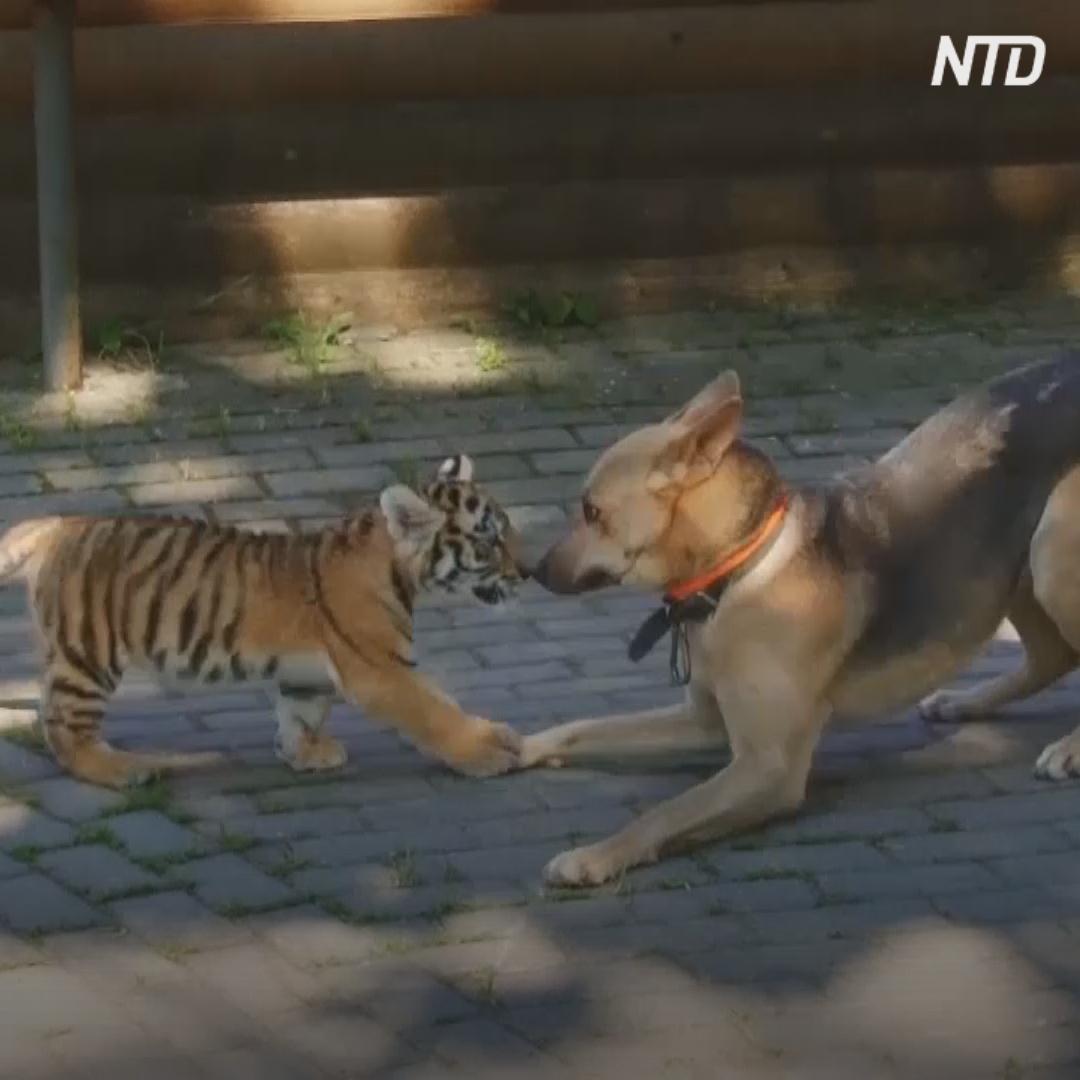Тигрёнок подружился с собакой