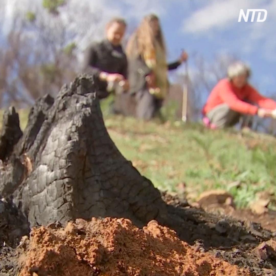 Как овсянка и зола от пожаров помогают природе Австралии восстановиться