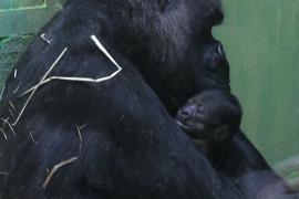 Детёныш гориллы только родился, а его уже показывают посетителям