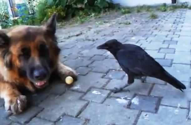 Как ворона и собака играют с мячом