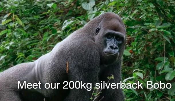 Взрослая горилла нашла друга весом 200 г
