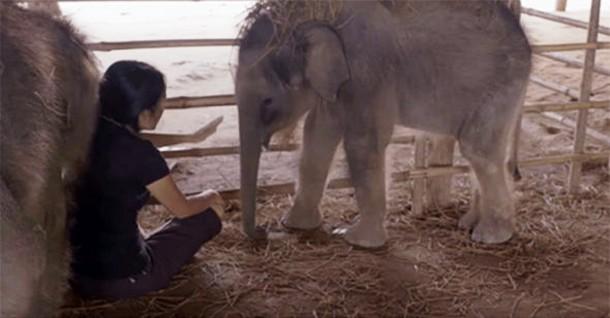 Что помогло слонятам-сиротам снять стресс