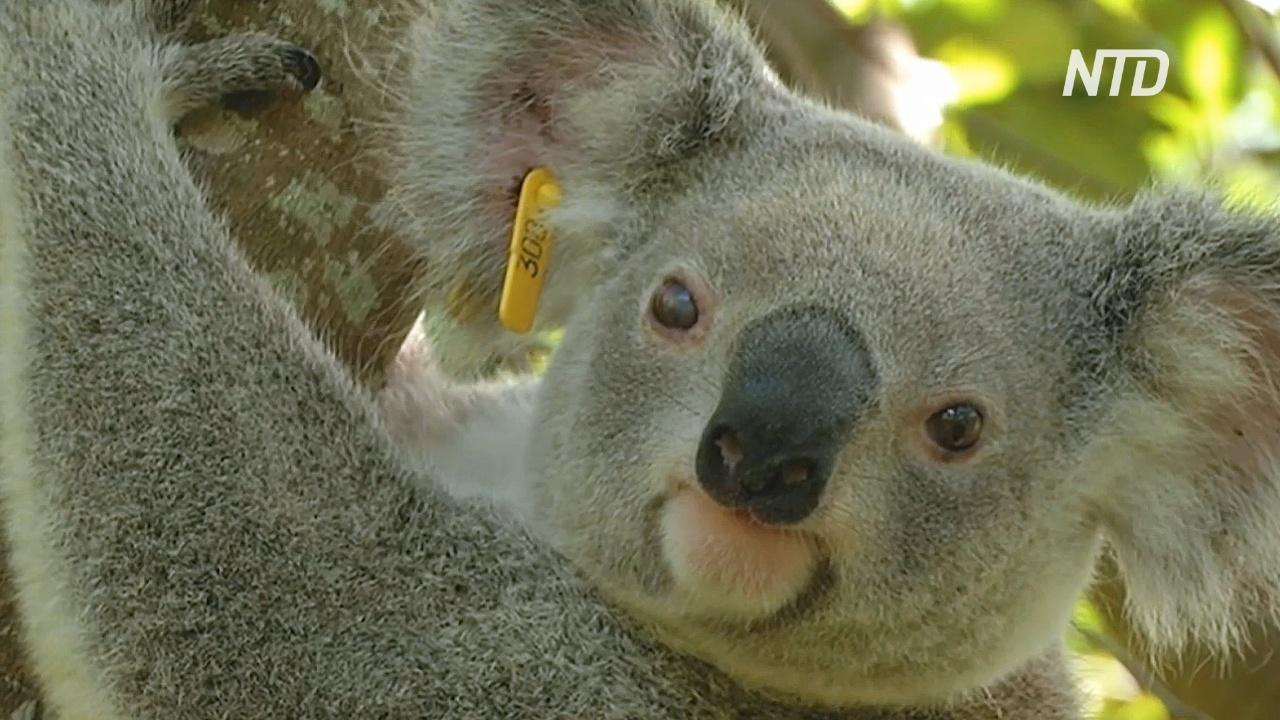 В Новом Южном Уэльсе через 30 лет могут исчезнуть коалы