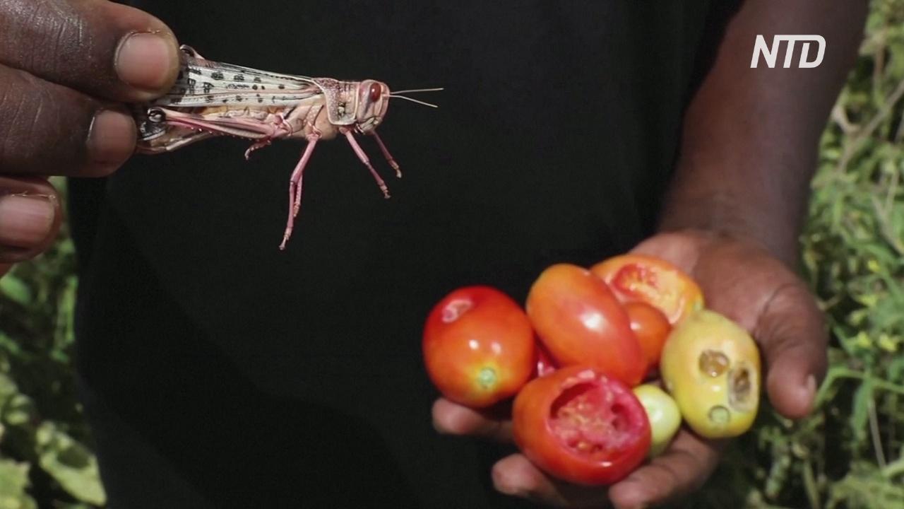 Молодое поколение саранчи уничтожает посадки кенийских фермеров